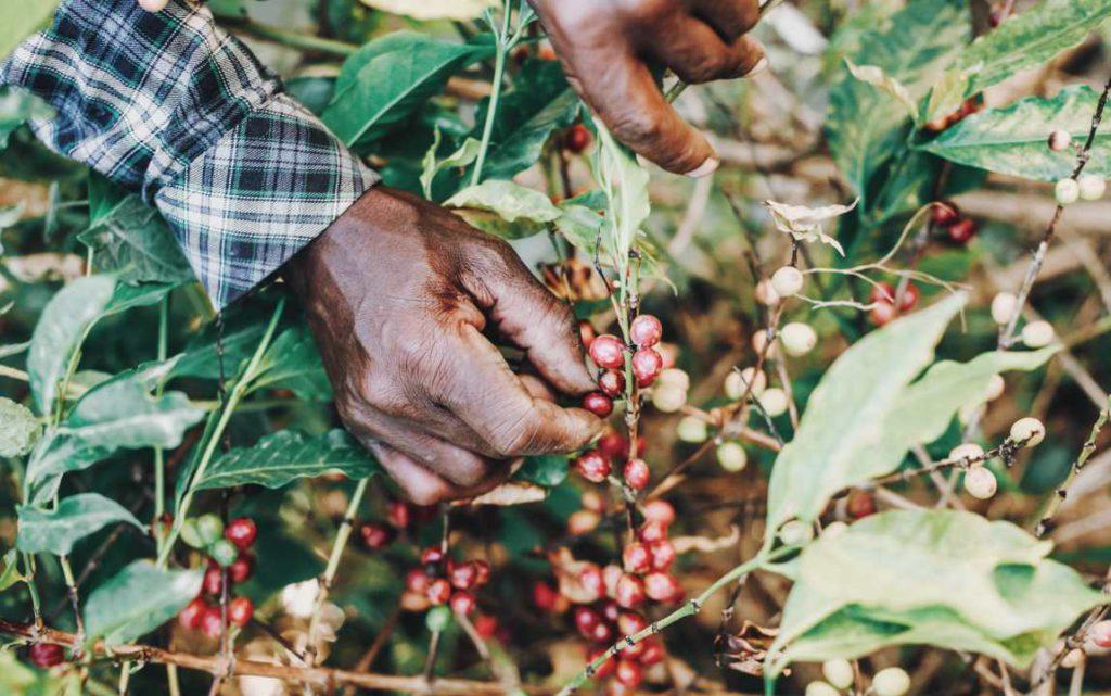 picking coffee cherries at origin
