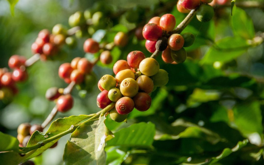 arabica coffee production